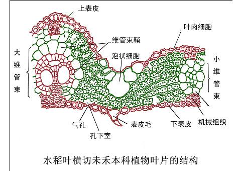 禾本科植物叶片结构-植物学网站欢迎您!