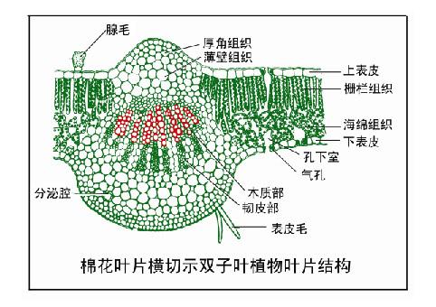 双子叶植物叶片结构-植物学网站欢迎您!
