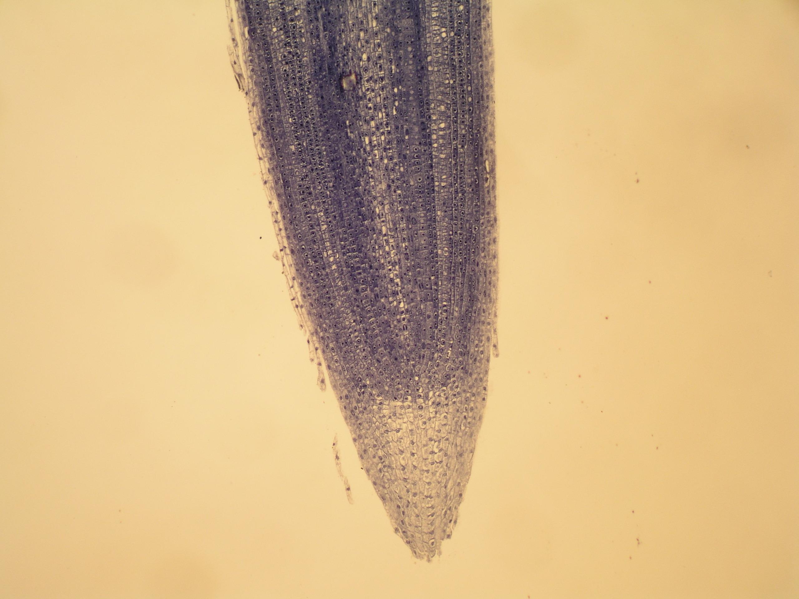 根尖纵切细胞结构图